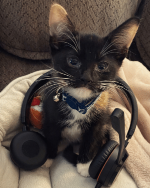 We got a new kitten since we are working from home, and I figured she could help pay the bills. Does anyone have a smaller headset?: We got a new kitten since we are working from home, and I figured she could help pay the bills. Does anyone have a smaller headset?