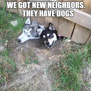 Animals, Dogs, and Funny: WE GOT NEW NEIGHBORS.  THEY HAVE DOGS 50+ Funny Husky Memes That Will Keep You Laughing For Hours #husky #huskymemes #dogmemes #memes #funnymemes - Lovely Animals World