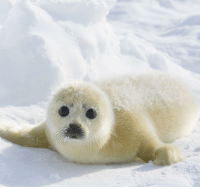 Memes, Chillis, and Seal: We here at @science consider ourselves serious adult humans that want to give you the most educational experience possible, but OH MY GOSH LOOKIT THAT SWEET FAAACE. Ahem. Sorry. This, dear Instagram, is the harp seal. At birth, the baby harp seal is covered in a yellow-white coat, which then becomes a mixture of silver and grey as the seal ages. Found in the North Atlantic and Arctic oceans, this species of earless seal uses its blubber as energy if there's no food to be found and also as a way to keep its body warm in the chilly water. Harp seals spend almost all of their time swimming and only can be found out of water during molting or mating season. These speedy swimmers feed on fish and crustaceans and can live for up to twenty years in the wild. Photo cred: endlessocean.wikia.com