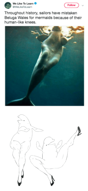 Tumblr, Blog, and History: We Like To Learn .  @WeLikeToLearn  Follow  Throughout history, sailors have mistaken  Beluga Wales for mermaids because of their  human-like knees. jon-lox: kenken-b: BELUGA BABE beluga buss it open