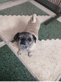 Love, Memes, and Pugs: We love senior pugs - such sweet pups!