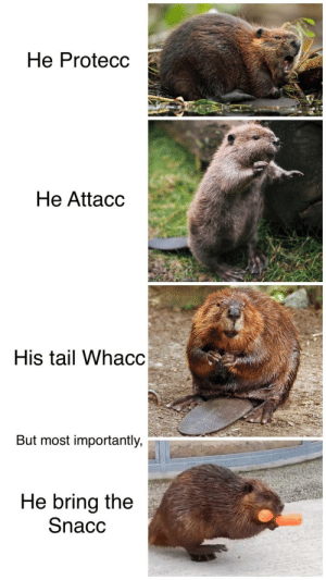 We need more beaver memes in our life: We need more beaver memes in our life