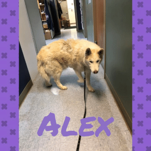 Memes, Hair, and Help: We received a call about Alex needing some care.  His owner is a senior citizen and on a fixed income and Alex has a mass and some allergy issues.  Rascal biopsied the mass and sent him home with some medications for his hair loss, ear infections and allergies.  We will know more about what else he may need once the results come back on the mass.  His bill was $389 and we are hoping he is starting to feel a little better today.  Thanks to all of our amazing supporters we can help families in need.  #TogetherWeCan