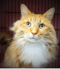 """We thought we had an adopter for Fluffy, but due to no fault of his own, the adoption did not go through. """"Fluffy"""" is still waiting for his new person to come and meet him 😊 He has been waiting for months and is getting very cranky at times, but a home would improve his mood - no doubt! And who could resist his handsome face? Fluffy is a friendly big boy. He is approx. 7 years young. If you would like to meet him and all of our adoptable cats, come and visit our shelter in Webster, Thursday through Sunday, 12 to 3.30. /ab: We thought we had an adopter for Fluffy, but due to no fault of his own, the adoption did not go through. """"Fluffy"""" is still waiting for his new person to come and meet him 😊 He has been waiting for months and is getting very cranky at times, but a home would improve his mood - no doubt! And who could resist his handsome face? Fluffy is a friendly big boy. He is approx. 7 years young. If you would like to meet him and all of our adoptable cats, come and visit our shelter in Webster, Thursday through Sunday, 12 to 3.30. /ab"""