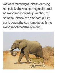 <p>Elephants to the rescue!</p>: we were following a lioness carrying  her cub & she was getting really tired  an elephant showed up wanting to  help the lioness. the elephant put its  trunk down, the cub jumped up & the  elephant carried the lion cub!! <p>Elephants to the rescue!</p>