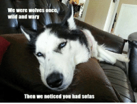 Memes, Wild, and Wolves: We were Wolves Once  wild and wary  Then we noticed you had sofas