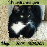 """Kitties, Memes, and Taken: We will miss  Mojo 2008-10129204 Today is National Cat Day. 😺 . It's also a bitter sweet day because exactly 2 years ago today our beloved Mojo was taken from us suddenly due to cardiomyopathy. He was only 6. 😿❤️. In his memory and in honor of National Cat Day, we'd like to emphasize the importance of taking action the minute you notice odd behavior from your pets. They are so tough and good at hiding pain, by the time they show symptoms it's often too late with some of these diseases and illnesses. This was the case with Mojo. Playing that morning, labored breathing that night with an enlarged heart and fluid throughout his chest. He peacefully crossed the rainbow bridge but left a hole in our hearts as we really didn't think we wouldn't be bringing him home that night. 😿 🌈. We almost lost Venus in 2013 from a urinary tract infection turned full blockage, (blockage almost unheard of in females). The only """"off"""" thing we noticed was one of the 3 cats was peeing in random places but we thought it was behavioral because of foster kittens in the house. Learning from experience, if we could go back in time we would have taken all 3 in to be checked. We assumed it was territorial marking & we were wrong! Never assume, always get them checked. We were fortunate that we found her when we did & her vet saved her life after 4 days in the hospital. 🙏 This mentality was helpful with Halo just recently who had a watery eye that she was squinting. We didn't waste time even though we could've assumed it was just an allergy or something that got in her eye. We got her to the vet the same day. It turned out to be glaucoma & was causing her excruciating pain though she was hiding it well. In honor and memory of Mojo we wanted to share these stories with you on nationalcatday in the hopes that it will spread awareness, saving you and your furbaby an emotional and painful experience that might be avoidable if you know how serious the slightest-mildest looking"""