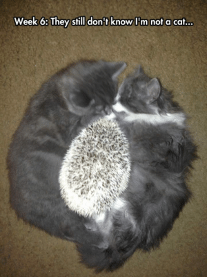 Tumblr, Blog, and Hedgehog: Week 6: They still don't know I'm not a cat... lolzandtrollz:  Undercover Hedgehog