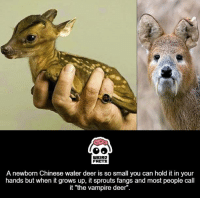 """Deer: WEIRD  FALTS  A newborn Chinese water deer is so small you can hold it in your  hands but when it grows up, it sprouts fangs and most people call  it """"the vampire deer''"""