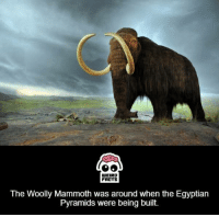 mammoth: WEIRD  FARTS  The Woolly Mammoth was around when the Egyptian  Pyramids were being built.