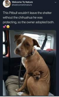 Pitbull: Welcome To Nature  @welcometOnature  This Pitbull wouldn't leave the shelter  without the chihuahua he was  protecting, so the owner adopted both.