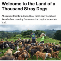 @tanksgoodnews is unlike any other page on Instagram. It's good news only.: Welcome to the Land of a  Thousand Stray Dogs  At a rescue facility in Costa Rica, these stray dogs have  found solace roaming free across the tropical mountain  land. @tanksgoodnews is unlike any other page on Instagram. It's good news only.