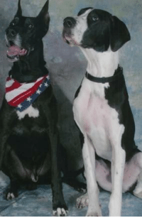 Well Behaved Great Danes
