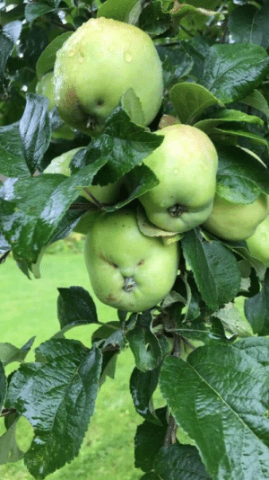 Well, this apple is oddly terrifying. https://t.co/MjI6E5zxW5: Well, this apple is oddly terrifying. https://t.co/MjI6E5zxW5