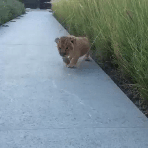 welovebullydogs:  This little Lion Cub Looks So Super Cute. Check it out!  Make Sure To Follow Us for More Cute Video's! http://welovebullydogs.tumblr.com : welovebullydogs:  This little Lion Cub Looks So Super Cute. Check it out!  Make Sure To Follow Us for More Cute Video's! http://welovebullydogs.tumblr.com