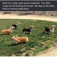 I'm this corgi (SWIPE) | 👉 @aranjevi: Went to a corgi meet up this weekend. The other  corgis are all looking at the ball. My dog on the other  hand is derping really hard I'm this corgi (SWIPE) | 👉 @aranjevi