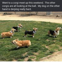 Corgi, Memes, and 🤖: Went to a corgi meet up this weekend. The other  corgis are all looking at the ball. My dog on the other  hand is derping really hard. derp