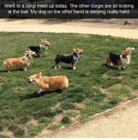 Corgi, Dogs, and Funny: Went to a corgi meet up today. The other corgis are all looking  at the ball. My dog on the other hand is derping really hard. That Corgi is so me at every event. @dogsbeingbasic has hilarious dogs memes