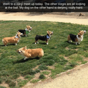 Corgi, Tumblr, and Blog: Went to a corgi meet up today. The other corgis are all looking  at the bal. My dog on the other hand is derping really hard srsfunny:Malfunctioning Corgi