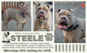 "Being Alone, Benadryl, and Cats: We're never too old to love and be loved  66616 8 years old, 74 lbs  SSTEELE  Adorable Older Gentleman Friendly, super lovable,  housetrained, crate trained, tolerant of handling,, lived in  harmony with a small child, welll behaved when home alone  @Brooklyn ACC waiting for LOVE TO BE KILLED - JUNE 25, 2019  He's got the cutest little baby face! Perhaps part hippo, a pinch of piglet and a whole lotta special! His super cute face is complimented with the cutest flap forward ears. Steele is anything but tough, in fact both the shelter and his prior home describe him as super friendly, affectionate, excellently behaved, attention seeking and allowing all handling. Steele was raised right, and lived in harmony with a child. His bio reveals he is well trained, including crate and commands. He does well alone in the home, and LOVES TOYS, yet does not resource guard! He is 75 glorious pounds of heart! Naturally he misses his prior home and arrived a bit timid, but acclimated perfectly with his new friends at the shelter; demonstrating he is more than ready to be a part of a special home. He does well with other doggies! Steele has a long life ahead to cherish a wonderful home, now that time is not on his side, he is urgently in need of a foster or adopter. If you want to save this most adorable man of steele, with a soft heart and disposition, please message this page now!  STEELE@BROOKLYN ACC Hello, my name is Steele My animal id is #66616 I am a desexed male gray dog at the  Brooklyn Animal Care Center The shelter thinks I am about 8 years old, 74 lbs  Came into shelter as owner surrender 6/20/2019 Reason Stated: MOVING - NO PETS ALLOWED   Steele was placed at risk due to his medical condition; he was diagnosed with a Heart murmur, Lipoma, nuclear sclerosis and has mass. Steele's initial timidity and fearful behavior, we feel it would be best for him to be placed in a stable home environment with no young children, as loud noises and sudden movements may startle him.  My medical notes are... Weight: 74.2 lbs Vet Notes 6/21/2019 DVM Intake Exam Estimated age: 8y Microchip noted on Intake? yes History : owner surrender Subjective: BARH, normal appetite, no elimination concerns Observed Behavior - tense posture, did not warm up. was muzzled Evidence of Cruelty seen - no Evidence of Trauma seen - no Objective P = wnl R = wnl BCS 6/9 EENT: Eyes OU nuclear sclerosis, ears clean, no nasal or ocular discharge noted Oral Exam: muzzled, incisors unremarkable PLN: No enlargements noted H/L: NSR, grade 3 HM, CRT < 2, Lungs clear, eupnic ABD: Non painful, no masses palpated U/G: male neutered, no leakage or discharge MSI: Ambulatory x 4, skin free of parasites, 2 firm small masses <1cm on either thorax and 1 2-3cm soft mobile, subdermal mass on the L ventral abd healthy hair coat CNS: Mentation appropriate - no signs of neurologic abnormalities Rectal: visually normal  Assessment  masses - lipoma and mast cell HM nuclear sclerosis  Prognosis: fair  Plan: rec cardio consult +/- US rec excisional biopsy of masses with histo FNA mass - large amount of mast cells with an approx number of RBC surrounding benedryl 2mg/kg IM once during FNA Benedryl 2mg/kg PO BID until excision famotidine 0.5mg/kg PO SID until excision  SURGERY:neutered 6/23/2019 Hx: Intake 6/23, diagnosed with Mast Cell Tumor via FNA. Currently on Benadryl and Famotidine. Noted to have a head tilt on rounds board.   EENT: No ocular/nasal discharge, OU nuclear sclerosis.  PLN: No enlargements noted U/G: male neutered, no leakage or discharge MSI: Ambulatory x 4, skin free of parasites, various masses noted on body (2 firm small masses <1cm on thorax and 1 2-3cm soft mobile, subdermal mass on the L ventral abdomen), no ectoparasites appreciated  CNS: Cranial nerves intact, full neuro exam not performed, no ataxia or head tilt appreciated.  Rectal: visually normal  Assessment  Lipoma  Mast cell tumor  HM nuclear sclerosis  Plan: Continue to monitor at BACC Rec cardio consult +/- US Rec excisional biopsy of masses with histo Continue benadryl 2mg/kg PO BID until excision Continue famotidine 0.5mg/kg PO SID until excision  Details on my behavior are... Behavior Condition: 3. Yellow  Behavior History Behavior Assessment Upon intake Steele allowed handling. Counselor was able to collar and take a photo.  Date of Intake: 6/20/2019  Spay/Neuter Status: Neutered  Basic Information:: Steele is approximately 8 years old. It is an altered male. He was surrendered due to the owner moving and the apartment does not allow pets.  Previously lived with:: 2 adults and 1 child  How is this dog around strangers?: Owner stated Steele is a friendly and outgoing around strangers.  How is this dog around children?: Owner stated Steele lived with their 3 1/2 year old son. He is relaxed and playful around them.  How is this dog around other dogs?: Has not been around other dogs so it is unknown of the behavior.  How is this dog around cats?: Has not been around cats so it is unknown of the behavior.  Resource guarding:: Owner stated Steele does not resource guard his food or toys. He does not mind if you try to take it away.  Bite history:: None  Housetrained:: Yes  Energy level/descriptors:: Medium  Has this dog ever had any medical issues?: No  For a New Family to Know: Owner stated Steele is a friendly, affectionate, playful and shy dog. He is very lovable. He rarely seek attention when your home. He likes to play with toys such as ball. He is mostly indoors. He eats dry food 2x a day. He is housed trained. He does not mind being groomed. He is well behaved when left in the house. He has been crate trained before, up to 8 hours a day. He knows ques such a sit, come, and stay. He slow walks on leashes.  =========================  Date of intake:: 6/20/2019  Spay/Neuter status:: No  Means of surrender (length of time in previous home):: Owner surrender  Previously lived with:: 2 Adults, 1 Child (3)  Behavior toward strangers:: Friendly and outgoing  Behavior toward children:: Relaxed and playful (w/resident child)  Behavior toward dogs:: Unknown  Behavior toward cats:: Unknown  Resource guarding:: None reported  Bite history:: None reported  Housetrained:: Yes  Energy level/descriptors:: Steele is described as friendly, affectionate, playful and shy with a medium level of energy.  Summary:: Leash Walking Strength and pulling: Moderate-hard pulling Reactivity to humans: None Reactivity to dogs: None Leash walking comments:  Sociability Loose in room (15-20 seconds): Neutral body, ears erect, closed mouth, tense head, distracted by outside noises, approaches handler, solicits attention, leans into and accepts all contact Call over: Approaches readily, neutral Sociability comments:   Handling  Soft handling: Neutral body, leans into handler, low tail, closed mouth, lip licking, ears neutral, accepts all contact Exuberant handling: Neutral body, leans into handler, low tail, closed mouth, lip licking, ears neutral, accepts all contact Handling comments:  Arousal Jog: Follows handler, neutral body, low tail Arousal comments:   Knock Knock Comments: Pulls hard toward door when assistant exits; No response to knock; Approaches assistant after a few seconds, neutral body, low tail, ears forward  Toy Toy comments: Minimal interest  Summary:: According to Steele's previous owner, Steele did not socialize with other dogs while in their care.  6/21: When off leash at the Care Centers, Steele greets with a neutral posture. He is sexually motivated and licks the greeter's rear end before moving away when interrupted.   ========================  Date of intake:: 6/20/2019  Summary:: Allowed all handling  Date of initial:: 6/21/2019  Summary:: Tense; Muzzled as a precaution  ENERGY LEVEL:: Steele has been observed to exhibit a medium level of energy during his interactions in the care center.  BEHAVIOR DETERMINATION:: Level 1  Behavior Asilomar: TM - Treatable-Manageable  Recommendations:: No young children (under 5)  Recommendations comments:: No young children (under 5): Due to Steele's initial timidity and fearful behavior, we feel it would be best for him to be placed in a stable home environment with no young children, as loud noises and sudden movements may startle him. It is advised that the new adopters should be able to exercise appropriate and safe management when handling Steele, allowing him to acclimate and decompress at his own pace. Force-free, reward-based training only is advised when introducing or exposing Steele to new and unfamiliar situations, as well as utilizing guidance from a qualified, professional trainer/behaviorist.  Potential challenges: : Fearful,Strength/leash pulling  Potential challenges comments:: Fearful: Although Steele displays social behavior, he does appear to startle easily and is initially wary of interacting with handlers. Steele warms up quickly and allows all handling, but should never be forced to interact or approach if he is not comfortable. Please see handout on Decompression period, as well as handout on Fear.  Strength/leash pulling: Steele was observed to display leash pulling due to his strength. Please refer to the handout on Strength/leash pulling.  *** TO FOSTER OR ADOPT ***  HOW TO RESERVE A ""TO BE KILLED"" DOG ONLINE (only for those who can get to the shelter IN PERSON to complete the adoption process, and only for the dogs on the list NOT marked New Hope Rescue Only). Follow our Step by Step directions below!   *PLEASE NOTE – YOU MUST USE A PC OR TABLET – PHONE RESERVES WILL NOT WORK! **   STEP 1: CLICK ON THIS RESERVE LINK: https://newhope.shelterbuddy.com/Animal/List  Step 2: Go to the red menu button on the top right corner, click register and fill in your info.   Step 3: Go to your email and verify account  \ Step 4: Go back to the website, click the menu button and view available dogs   Step 5: Scroll to the animal you are interested and click reserve   STEP 6 ( MOST IMPORTANT STEP ): GO TO THE MENU AGAIN AND VIEW YOUR CART. THE ANIMAL SHOULD NOW BE IN YOUR CART!  Step 7: Fill in your credit card info and complete transaction   HOW TO FOSTER OR ADOPT IF YOU *CANNOT* GET TO THE SHELTER IN PERSON, OR IF THE DOG IS NEW HOPE RESCUE ONLY!   You must live within 3 – 4 hours of NY, NJ, PA, CT, RI, DE, MD, MA, NH, VT, ME or Norther VA.   Please PM our page for assistance. You will need to fill out applications with a New Hope Rescue Partner to foster or adopt a dog on the To Be Killed list, including those labelled Rescue Only. Hurry please, time is short, and the Rescues need time to process the applications.  Shelter contact information Phone number (212) 788-4000  Email adoption@nycacc.org  Shelter Addresses: Brooklyn Shelter: 2336 Linden Boulevard Brooklyn, NY 11208 Manhattan Shelter: 326 East 110 St. New York, NY 10029 Staten Island Shelter: 3139 Veterans Road West Staten Island, NY 10309  * NEW NYC ACC RATING SYSTEM *  Level 1 Dogs with Level 1 determinations are suitable for the majority of homes. These dogs are not displaying concerning behaviors in shelter, and the owner surrender profile (where available) is positive.  Level 2  Dogs with Level 2 determinations will be suitable for adopters with some previous dog experience. They will have displayed behavior in the shelter (or have owner reported behavior) that requires some training, or is simply not suitable for an adopter with minimal experience.   Level 3 Dogs with Level 3 determinations will need to go to homes with experienced adopters, and the ACC strongly suggest that the adopter have prior experience with the challenges described and/or an understanding of the challenge and how to manage it safely in a home environment. In many cases, a trainer will be needed to manage and work on the behaviors safely in a home environment.  PLEASE ADOPT. DON'T SHOP. FOSTERS ROCK TOO. :)"