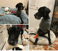 Animals, Bad, and Bailey Jay: WERS  ONDES  ILS.  #ATCH Foto  EAM  ATCH F  sD  OUR FONDES LUKE is having SURGERY to Prepare leg for a Prosthetic.   Please, Help Us, Help Him by DONATING.  https://www.noahs-arks.net/animal/view/luke-great-dane/1029#.XA_eri3Mw_W  I so appreciate everyone's patience on waiting for the update on Luke.  A lot of results have come back, and his antibiotics have been adjusted.  The new medicines he was put on have been working because his leg wound has begun to granulate and has delicate, viable tissue with lots of proper blood flow.     The other area that was a big concern was his nasal passage and respiratory system.  We seem to have resolved the discharge he was having with his nasal wash and the new antibiotics.  He had a bloody discharge for one day from the procedure that resolved quickly.  Dr. Welch believes he had a foreign body that had been lodged in his nasal cavity at the back of his palate.  His body reacted to the foreign body with an inflammatory response that soon became infected.      I have been talking to lots of prosthetic companies since Luke's infection on his leg has been improving.   We have one individual we have spoken to that believes he can do a prosthetic for Luke.  We have to close the area around the bone before a prosthetic can be made. Luke will be having surgery on Wednesday at a new Hospital.   We are not going to post the name of the hospital since so many people have been calling the hospitals and disrupting their normal practice.   We will post an update once he has had his surgery.     We have over 200 applications for people wanting to adopt Luke.  Once Luke has healed, we will then go over all of the applications and pick the best candidate based on how Luke is doing.   Please, feel free to fill out an application if you would like to be added to the list.   Luke has been hanging out with me in my office. He is so tall that he can reach things that normal dogs cannot.  The Dog Christmas Tree Topper was the first thing he decided should be a play toy.   Luke loves stuffed animals and is allowed to have some since we are no longer worried about him eating the stuffing.    He loves having them piled around him when he is sleeping and acts more like a Lab with one always in his mouth.   The best news of all is Luke is finally gaining weight, and we are past the danger of him developing Re-Feeding Syndrome.  He is now eating eight cups of concentrated food daily that is increased weekly.  It will only be a matter of time before we begin to see a significant difference in his body mass.   Luke is a very tall Great Dane and is going to be massive when he fully recovers.   He is the ultimate Gentle Giant that wants nothing more than to be near you or in your lap.  I was exhausted the other day when I was looking after him in my office.  I decided to put my head down for a second on the floor next to him when an hour later I was awakened with Luke snoring on top of me.  He had curled up in the perfect spoon position with his bad leg over my legs and his front leg over my chest with his head on my shoulder.  At that moment, it suddenly hit me how horrifying it had to have been for him to have been tied outside with no food or water suffering.     I don't believe Luke ate his leg to survive.  I believe he chewed his leg off to free himself from the cable that he was tied to. I also think the cable had been on for so long that it had damaged his leg and had swollen around the cable cutting off the circulation.   The area where his leg was removed was smooth with clean edges.  That tells me, he chewed a leg that had become damaged and painful from the cable to get rid of the pain and to free himself.     Chewing a leg off is not an easy thing to do.  Poor Luke had to have been beyond desperate to have done such an act.   All of our tests are proving he can eat under normal conditions without any issues.  He was tied up and abandoned with no thought for his well-being.  The people that did this to him also have children.  I hope they were not around to see the kind of abuse that Luke endured.  Luke was in this state for quite a long time to have lost as much weight as he did.    Luke is safe and loved and acts like he never endured all that he has been through.   He has started to extend his wounded limb when he bends down and when he walks.   When he first arrived his partial leg was pulled up next to his body.   I assume that was to protect it, but now that his leg is healing, he is comfortable moving it around.   He will need muscle mass for the prosthetic to work.  We are working on him having that when the time comes.   Thanks for caring about this special boy.