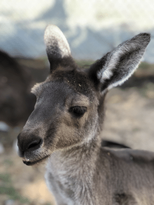 Western Gray Kangaroo posing for a photo in trade for some tasty food provided by the wildlife park.: Western Gray Kangaroo posing for a photo in trade for some tasty food provided by the wildlife park.