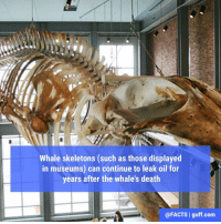 Memes, Massachusetts, and 🤖: Whale skeletons (such as those displayed  in museums) can continue to leak oil for  years after the whale's death  @FACTS I guff.com At the New Bedford Whaling Museum in Massachusetts, the skeleton of a blue whale named KOBO has been oozing oil for almost 20 years. But the folks at the @whalingmuseum have made the best of this messy situation — a small tray is set up under the whale skull to catch the oil that drips out of the bones and direct it to a small beaker. It's just another part of the exhibit!