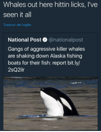Funny, Killer Whales, and Alaska: Whales out here hittin licks, I've  seen it all  Traducir del inglés  National Post @nationalpost  Gangs of aggressive killer whales  are shaking down Alaska fishing  boats for their fish: report bit.ly/  2sQ2ilr  OS We dead destroying the planet and its not funny anymore.