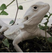 What a beauty -  a white Bearded Dragon: What a beauty -  a white Bearded Dragon