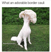 Please don't eat my dog | 👉 follow @openlygayanimals for more great memes: What an adorable border cauli  @openlygayonimals Please don't eat my dog | 👉 follow @openlygayanimals for more great memes