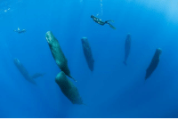What are these big guys up to? As it turns out, taking a little nap. 🐋 💤 Photographer Franco Banfi and his team were observing these sperm whales off of the coast of Dominica in the Caribbean Sea when, much to their surprise, the huge creatures abruptly assumed a vertical position and seemed to drift asleep. What's this all about? The behavior was first investigated in 2008, when a team of British and Japanese biologists stumbled upon a group of unresponsive sperm whales hovering beneath the waves. Puzzled, the researchers analyzed data from previously-tagged sperm whales, and discovered that the giants spend around 7% of their day taking ~15-minute naps in this stationary, vertical orientation. The consensus is that these naps might possibly be the only time when sperm whales sleep. Would you like to go diving with these magnificent animals? We would! Photo: Franco Banfi. guffscience science biology marinebiology animalbehavior nature ocean earth education bestoftheday interesting didyouknow nowyouknow caribbean dominica francobanfi naturephotography spermwhale whale animal: What are these big guys up to? As it turns out, taking a little nap. 🐋 💤 Photographer Franco Banfi and his team were observing these sperm whales off of the coast of Dominica in the Caribbean Sea when, much to their surprise, the huge creatures abruptly assumed a vertical position and seemed to drift asleep. What's this all about? The behavior was first investigated in 2008, when a team of British and Japanese biologists stumbled upon a group of unresponsive sperm whales hovering beneath the waves. Puzzled, the researchers analyzed data from previously-tagged sperm whales, and discovered that the giants spend around 7% of their day taking ~15-minute naps in this stationary, vertical orientation. The consensus is that these naps might possibly be the only time when sperm whales sleep. Would you like to go diving with these magnificent animals? We would! Photo: Franco Banfi. guffscience science biology marinebiology animalbehavior nature ocean earth education bestoftheday interesting didyouknow nowyouknow caribbean dominica francobanfi naturephotography spermwhale whale animal