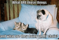Funny Pug Dog Meme: What ARE those things  and whatare then doingon MYchair Funny Pug Dog Meme