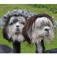 Barber, Haircut, and Memes: What did they say to their barbers? Follow @9gagcute alpaca llama haircut barber