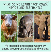 """Tumblr, Blog, and Http: WHAT DO WE LEARN FROM COWS,  HIPPOS AND ELEPHANTS?  It's impossible to reduce weight by  eating green grass, salads, and walking <p><a href=""""http://awesomacious.tumblr.com/post/172832026492/fact"""" class=""""tumblr_blog"""">awesomacious</a>:</p>  <blockquote><p>Fact.</p></blockquote>"""