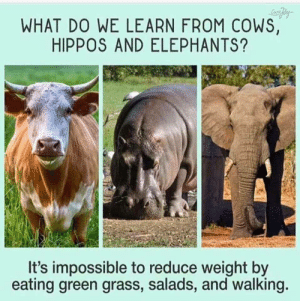 Elephants, Green, and Grass: WHAT DO WE LEARN FROM COWS,  HIPPOS AND ELEPHANTS?  It's impossible to reduce weight by  eating green grass, salads, and walking Fact.