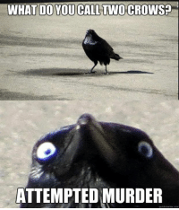 crow: WHAT DO YOU CALL TWO CROWS?  ATTEMPTED MURDER  quick meme com