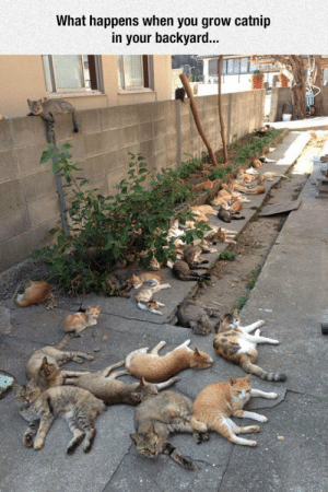 Trap, Tumblr, and Blog: What happens when you grow catnip  in your backyard... canipetyourcats:  pleatedjeans:  via  I'M GOING TO GROW CATNIP IN MY BACKYARD