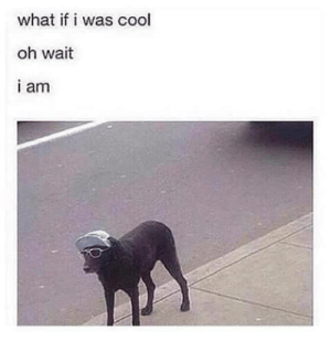 Dogs, Funny, and Memes: what if i was cool  oh wait  i am Enjoy these good boi and girl doggo memes for your viewing pleasure!#dogs 3 dog memes # funny memes # funny dogs # animal memes # funny