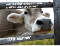 WHAT IS A COWS FAVORITE TV SHOW  TO WATCH WHILE HE'S EATING  FB/ Alweays leave em Laogwing  GRAZE ANATOMY Cows come in browns and graze.