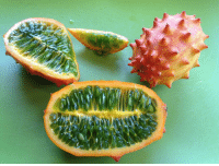 "Africa, Memes, and Aliens: What is this alien vegetable? This is a kiwano, or horned melon, and it's native to Sub-Saharan Africa. This spiny fruit has a spiky orange outside and a, well, booger-colored inside. Even though it has a look that says ""STAY AWAY FROM MY SPIKES,"" its insides are often used as a source of water in the Kalahari Desert. Fun fact: When a kiwano becomes overripe, it explodes in order to release its seeds. Photo cred: Olmo Cassibba"