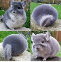 9gag, Memes, and 🤖: What kind of Pokmon is that? It's Fattata! Follow @9gag @9gagmobile 9gag chinchilla (cr: @camerons_chinchillas)