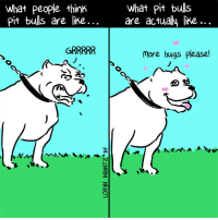 Memes, Watch Out, and Bulls: What people think  Pit bulls are like.  What pit bulls  are actually like...  more hugs please! Better watch out or you'll get cuddled too hard.