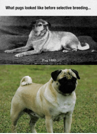 <p>Before Selective Breeding.</p>: What pugs looked like before selective breeding...  ug 1880 <p>Before Selective Breeding.</p>