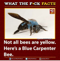 Dank, Facts, and Blue: WHAT THE F*CK FACTS  www.beesbeauty.com  Image Source  Not all bees are yellow.  Here's a Blue Carpenter  Bee.  adiplywtffacts  FB.com/WhatThe Facts  @WhatTheF Facts