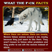 Dank, Image, and Images: WHAT THE FCK FACTS  F  FACTS  Image Source Debris and detritus  Where there are wolves, there are ravens,  Ravens follow wolves around a lot, mostly  because they just seem to like them. They  aren't known to follow other predators and  they prefer to eat wih the wolves instead of  alone.  FB.com/WhatThe Facts  @What The FFacts  @What The FFact