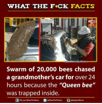 "queen bee: WHAT THE FCK FACTS  FACTS  www.youtube.com  mage so  Swarm of 20,000 bees chased  a grandmother's car for over 24  hours because the ""Queen bee""  was trapped inside.  ediply wtffacts  WhatTheFFacts  FB.com/What'TheFacts"