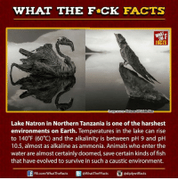 caustic: WHAT THE FCK FACTS  mage Source Pictures of Celebrities  Lake Natron in Northern Tanzania is one of the harshest  environments on Earth. Temperatures in the lake can rise  to 140 F (60°C) and the alkalinity is between pH 9 and pH  10.5, almost as alkaline as ammonia. Animals who enter the  water are almost certainly doomed, save certain kinds of fish  that have evolved to survive in such a caustic environment.  E FB.com/WhatTheFacts  WhatTheFFacts  adiplywtffacts