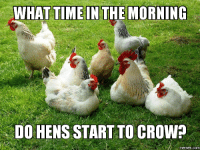 rooster: WHAT TIME IN THE MORNING  DO HENS STARTTO CROW
