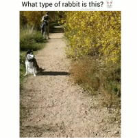 Dogs, Funny, and Love: What type of rabbit is this? c.  funpawcare Majestic bunny 😂❤️😂 @funpawcare . . 📹 @coloradohuskies puppylove dogwalking dogpark doglover puppies puppy pupper puppers puppiesofinstagram dogstagram dogs dog huskie huskies huskiesofinstagram rabbit rabbitsofinstagram funny love dogsofinstagram doggie doggies doglove doglovers furbaby workingdog Malibu beverlyhills pacificpalisades brentwood