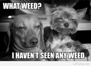 Dogs, Funny, and Weed: WHAT WEED?  HAVENT SEEN ANYWEED  LeFunny.net Funny dogs on weed